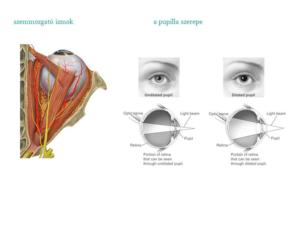 szemmozgató izmok a pupilla szerepe