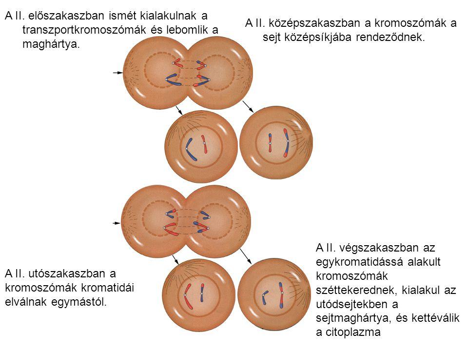 A II. előszakaszban ismét kialakulnak a transzportkromoszómák és lebomlik a maghártya.