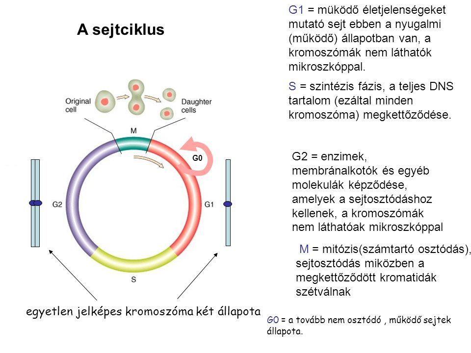 G1 = müködő életjelenségeket mutató sejt ebben a nyugalmi (működő) állapotban van, a kromoszómák nem láthatók mikroszkóppal.