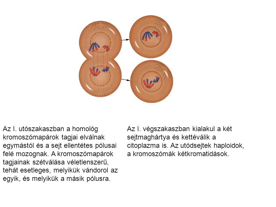 Az I. utószakaszban a homológ kromoszómapárok tagjai elválnak egymástól és a sejt ellentétes pólusai felé mozognak. A kromoszómapárok tagjainak szétválása véletlenszerű, tehát esetleges, melyikük vándorol az egyik, és melyikük a másik pólusra.