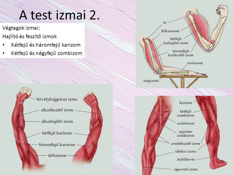 A test izmai 2. Végtagok izmai: Hajlító és feszítő izmok