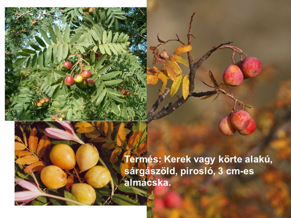 Termés: Kerek vagy körte alakú, sárgászöld, pirosló, 3 cm-es almácska.