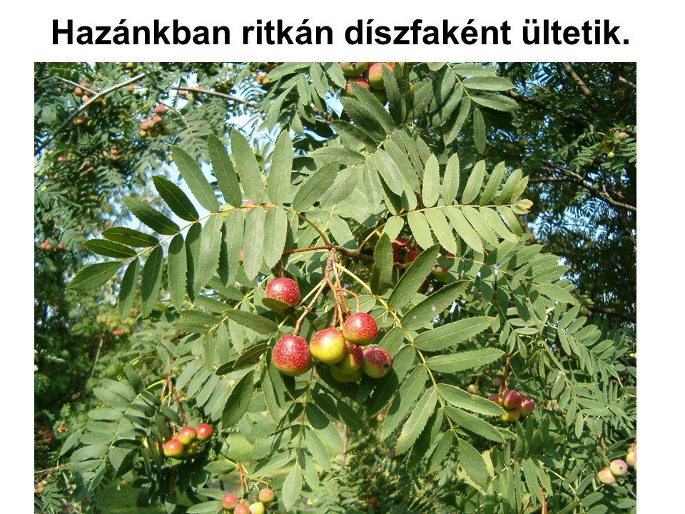 Hazánkban ritkán díszfaként ültetik.