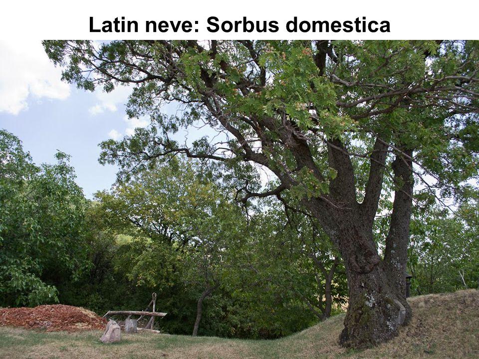 Latin neve: Sorbus domestica