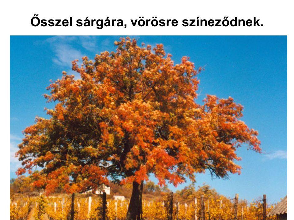 Ősszel sárgára, vörösre színeződnek.