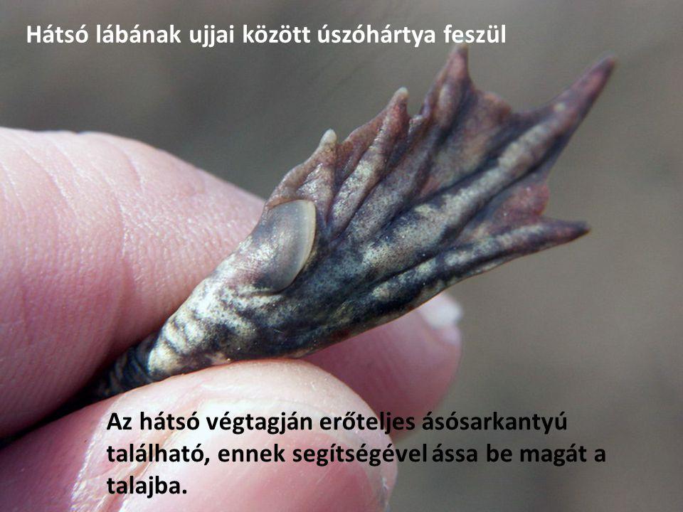 Hátsó lábának ujjai között úszóhártya feszül