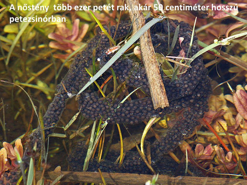 A nőstény több ezer petét rak, akár 50 centiméter hosszú petezsinórban.