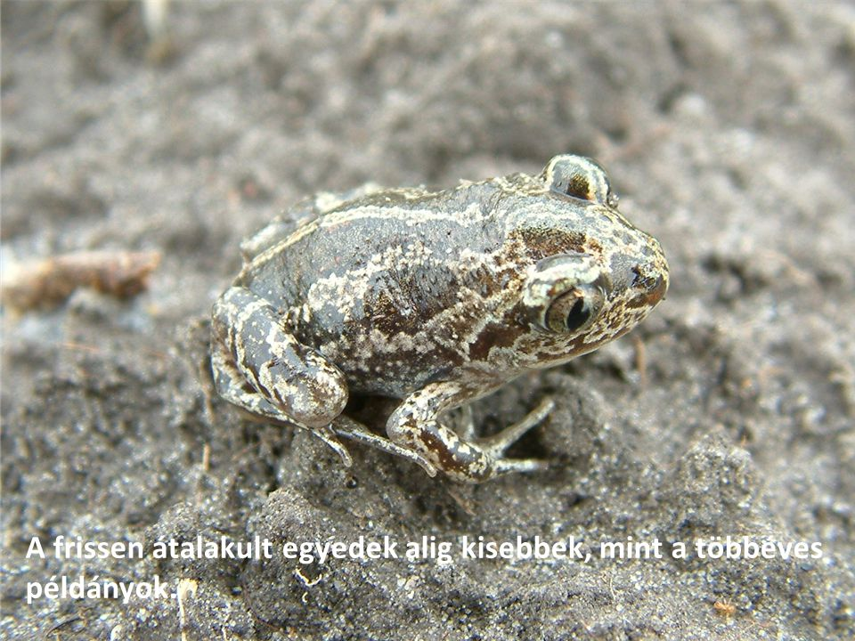 A frissen átalakult egyedek alig kisebbek, mint a többéves példányok.