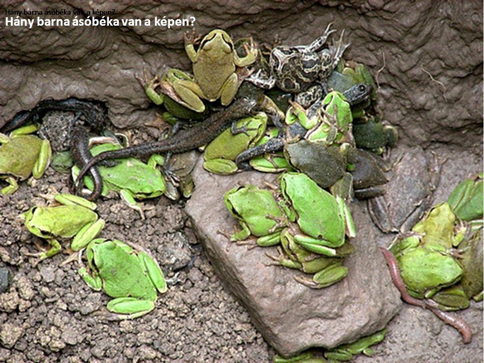 Hány barna ásóbéka van a képen