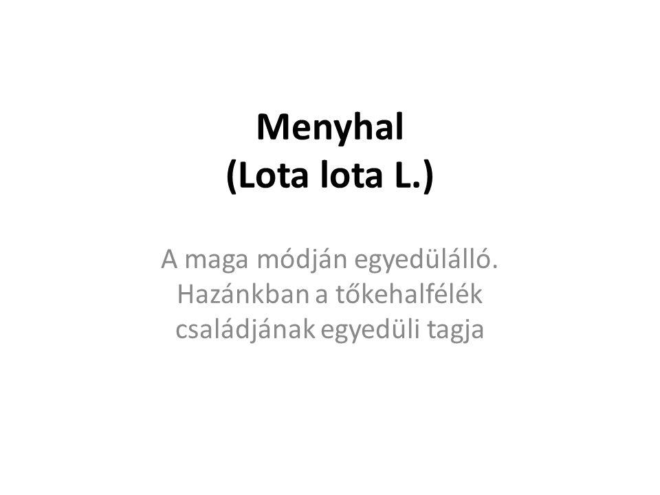 Menyhal (Lota lota L.) A maga módján egyedülálló.
