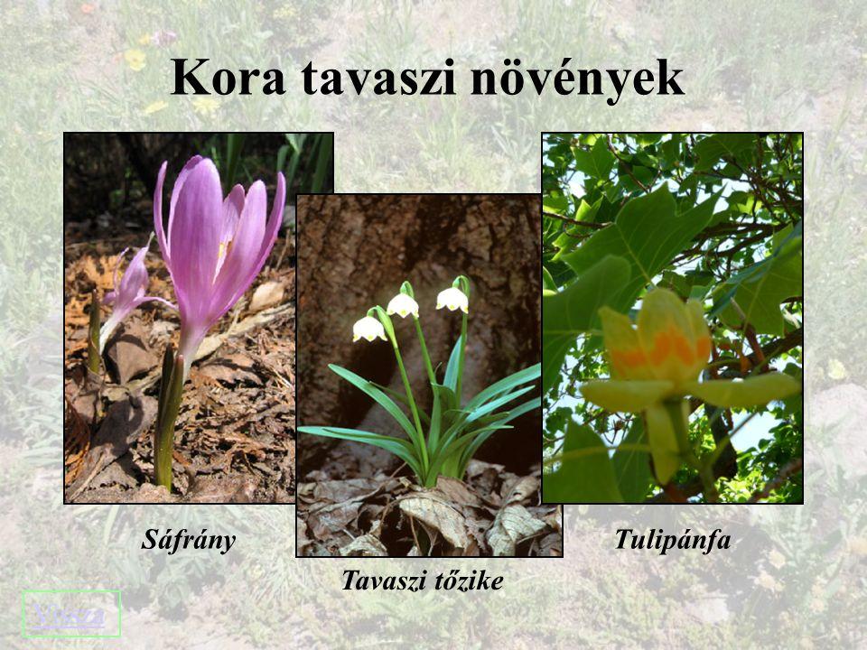 Kora tavaszi növények Sáfrány Tulipánfa Tavaszi tőzike Vissza