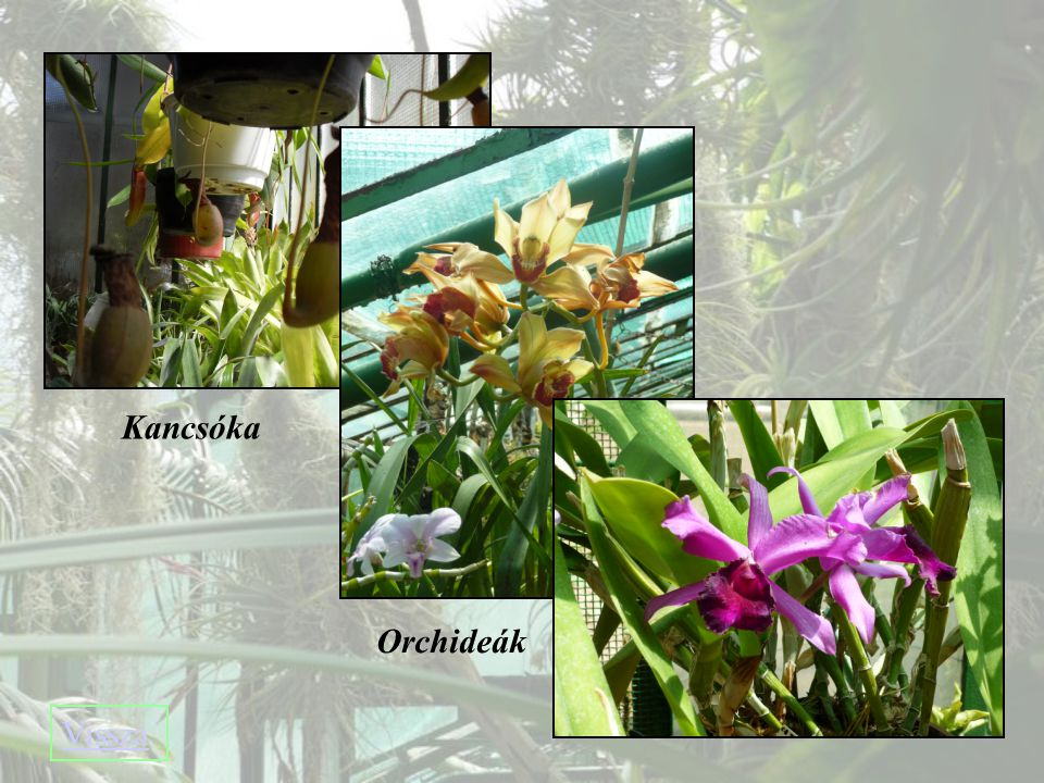 Kancsóka Orchideák Vissza