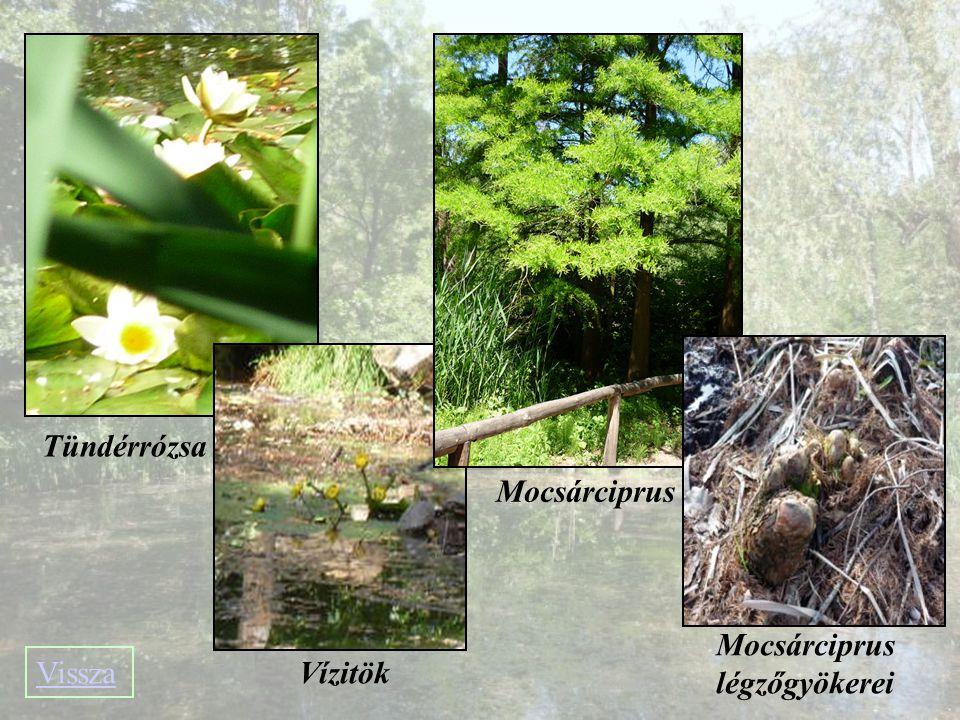 Mocsárciprus légzőgyökerei
