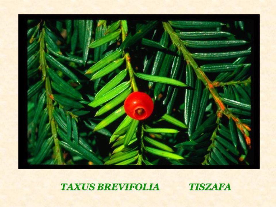 TAXUS BREVIFOLIA TISZAFA