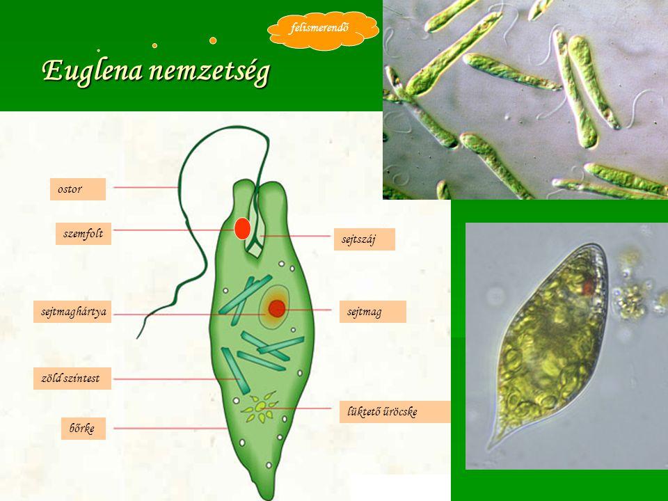 Euglena nemzetség felismerendő ostor szemfolt sejtszáj sejtmaghártya