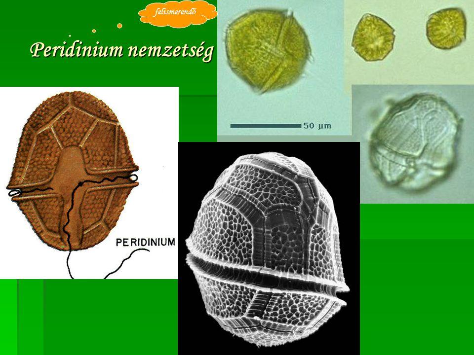 felismerendő Peridinium nemzetség