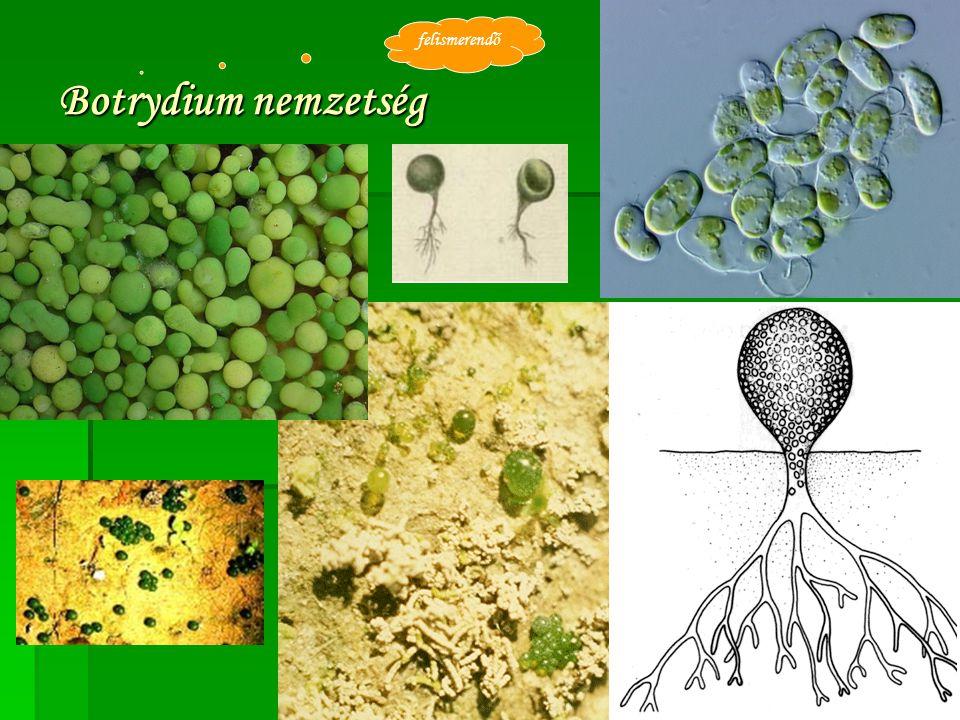 felismerendő Botrydium nemzetség