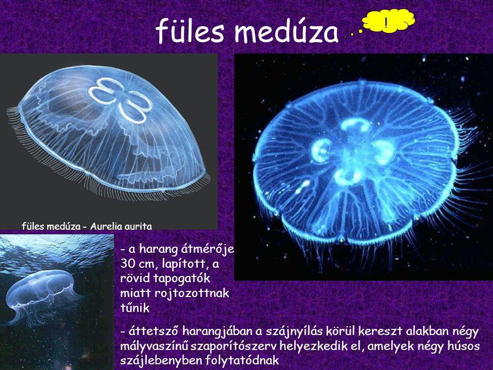 füles medúza ! füles medúza - Aurelia aurita. - a harang átmérője 30 cm, lapított, a rövid tapogatók miatt rojtozottnak tűnik.