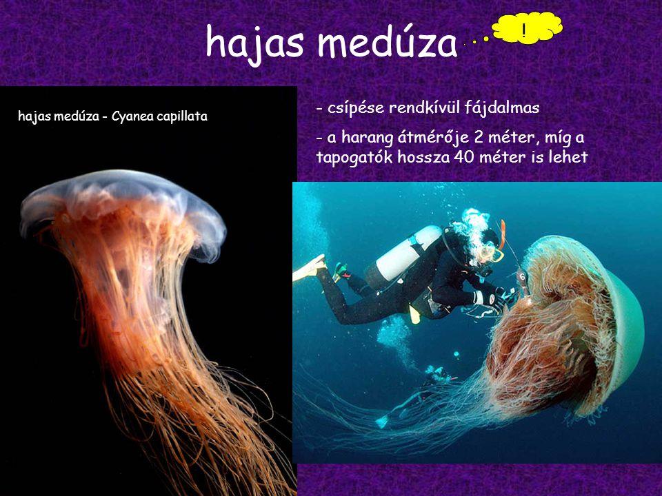 hajas medúza ! csípése rendkívül fájdalmas