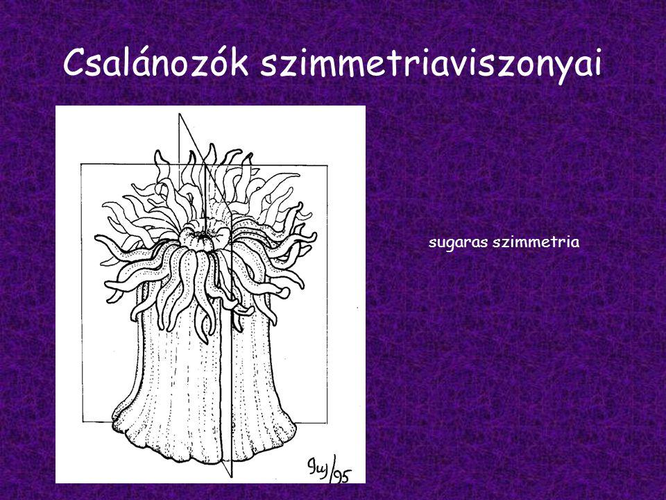 Csalánozók szimmetriaviszonyai