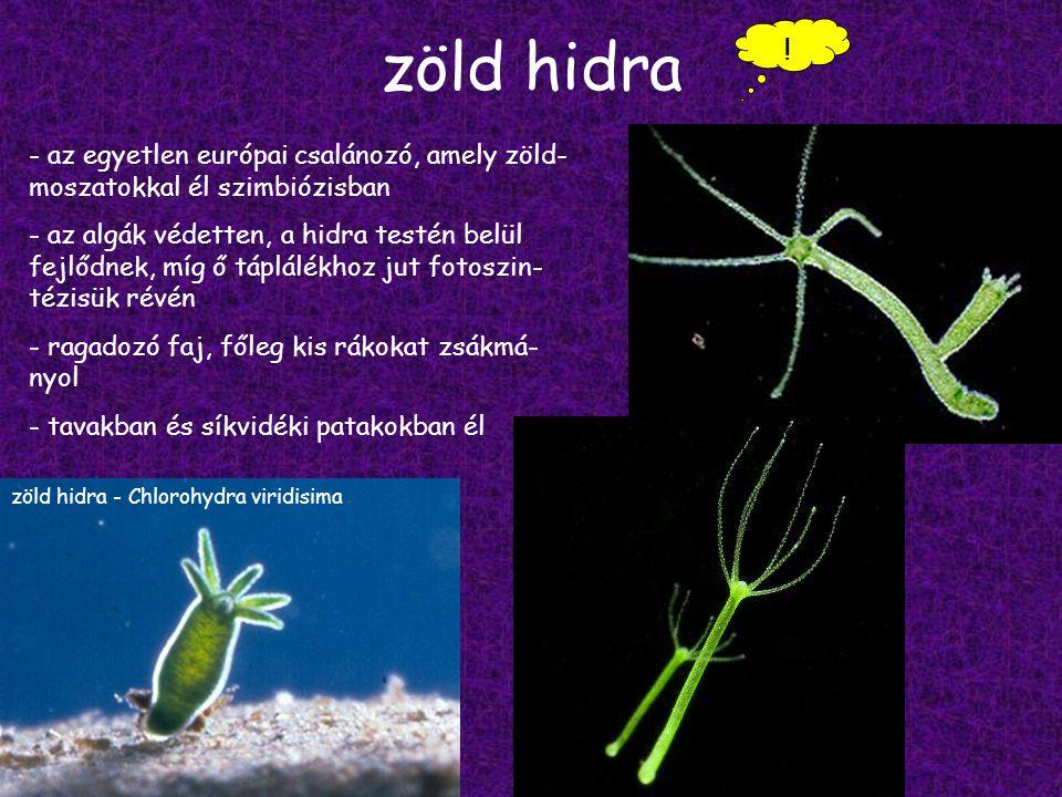 zöld hidra ! az egyetlen európai csalánozó, amely zöld-moszatokkal él szimbiózisban.