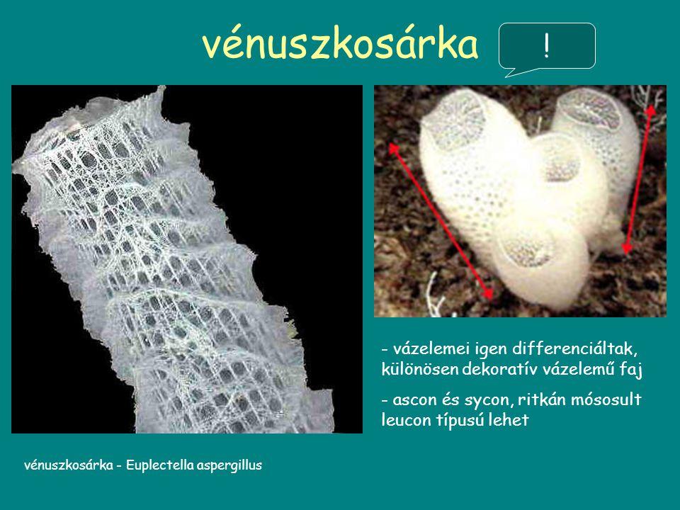 vénuszkosárka ! vázelemei igen differenciáltak, különösen dekoratív vázelemű faj. ascon és sycon, ritkán mósosult leucon típusú lehet.