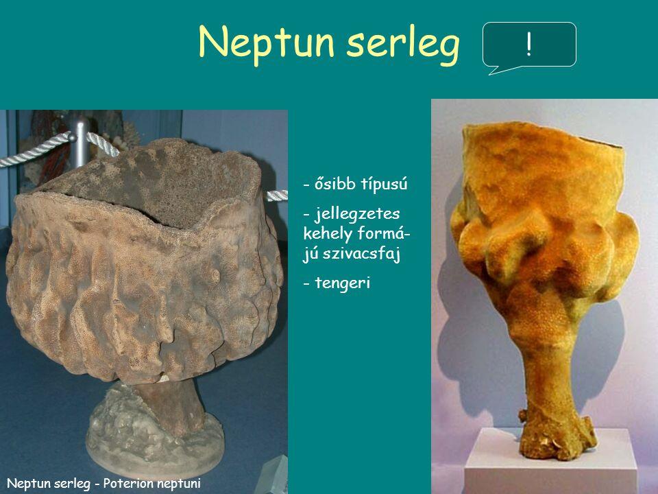 Neptun serleg ! ősibb típusú jellegzetes kehely formá-jú szivacsfaj