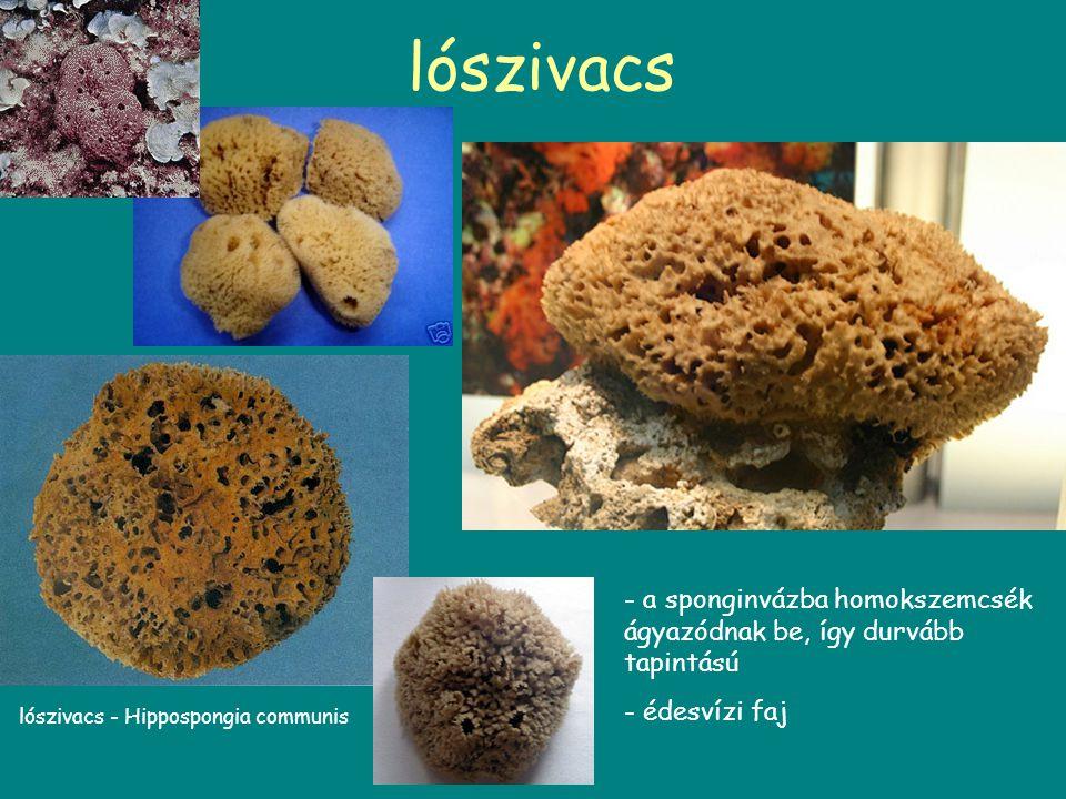 lószivacs a sponginvázba homokszemcsék ágyazódnak be, így durvább tapintású.