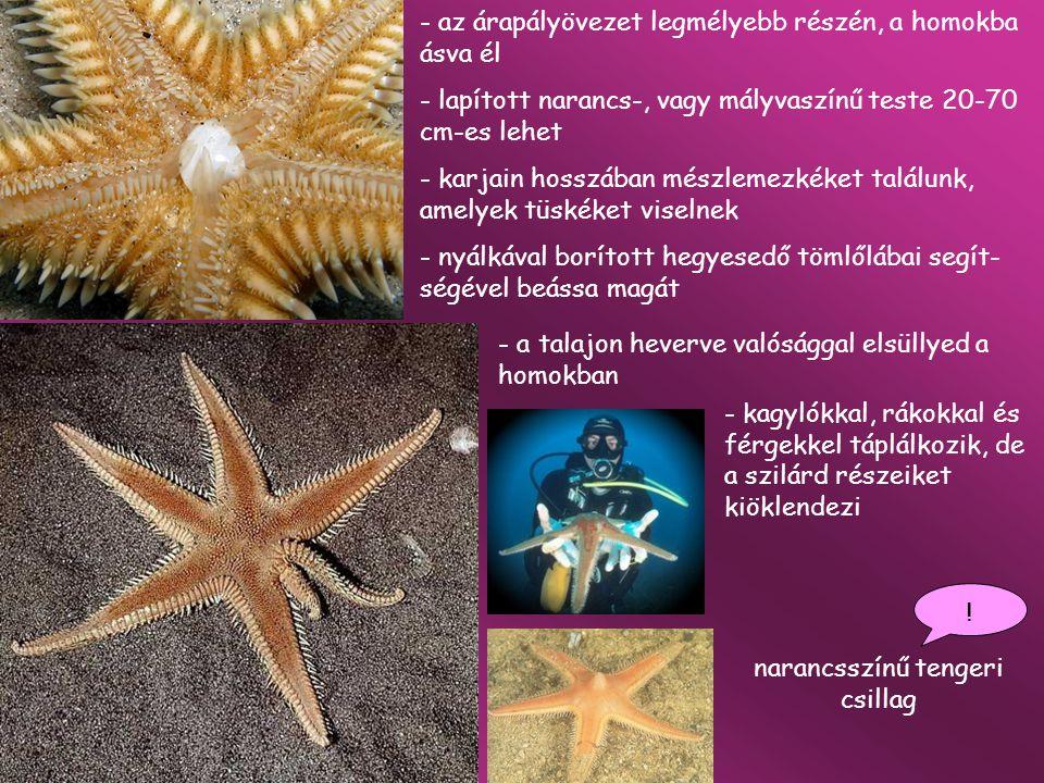 narancsszínű tengeri csillag