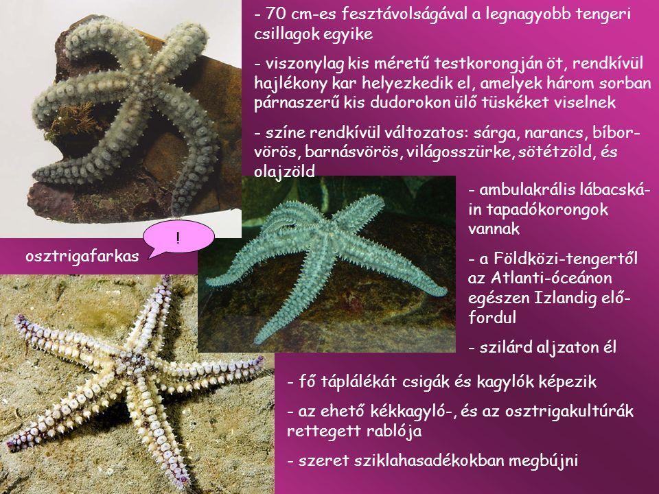70 cm-es fesztávolságával a legnagyobb tengeri csillagok egyike