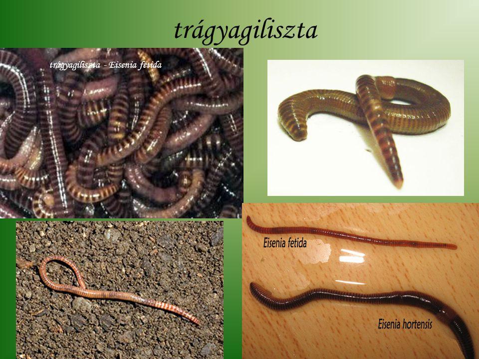 trágyagiliszta trágyagiliszta - Eisenia fetida