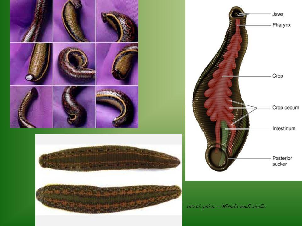 orvosi pióca – Hirudo medicinalis