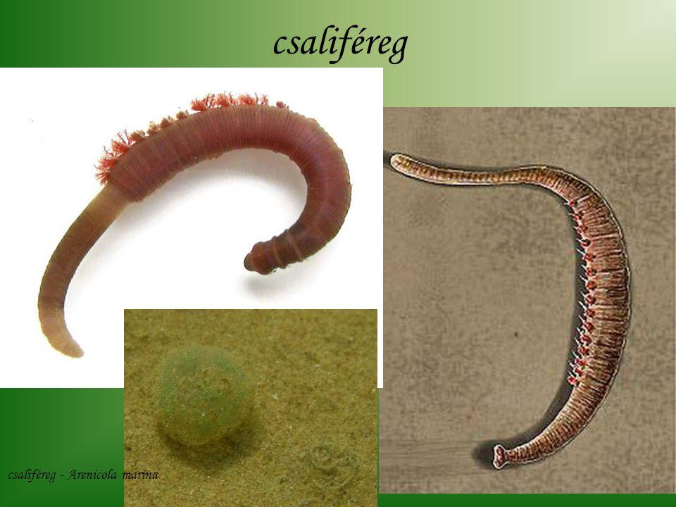 csaliféreg csaliféreg - Arenicola marina