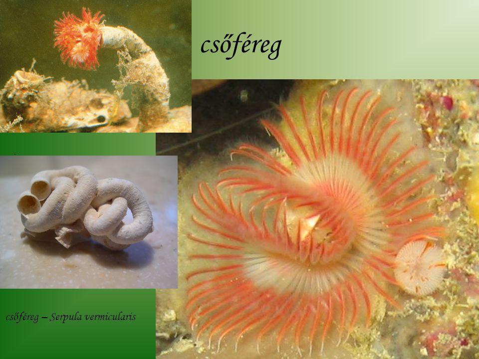 csőféreg - csőféreg – Serpula vermicularis