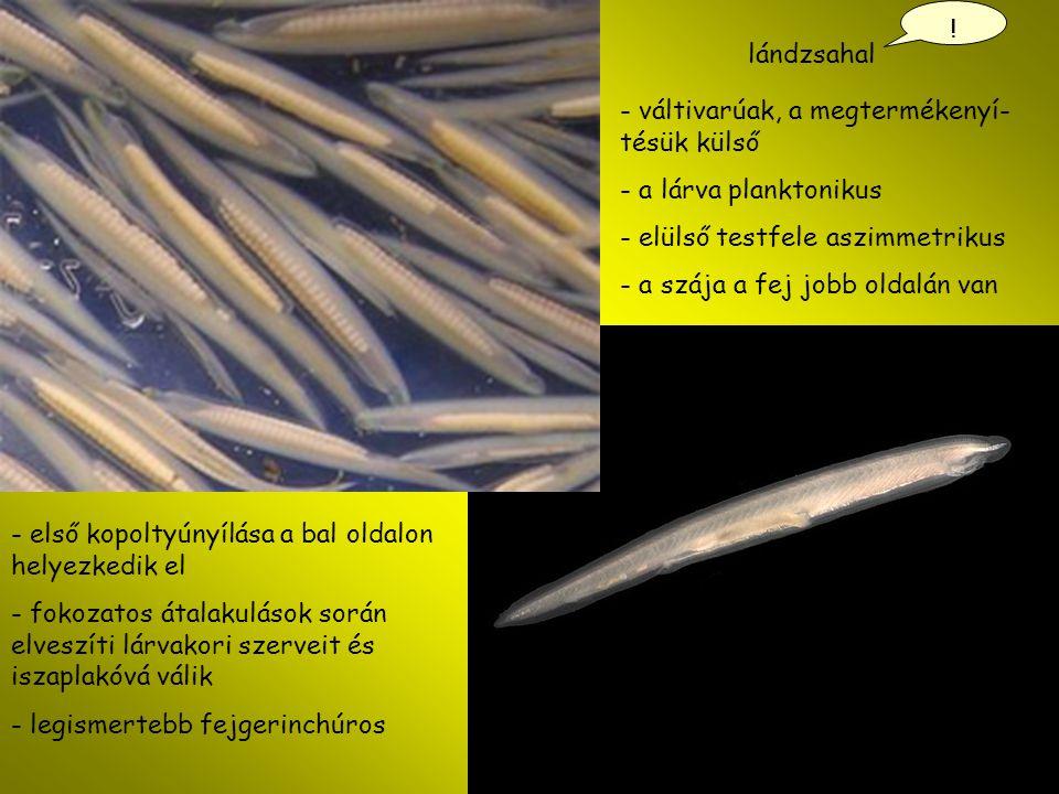! lándzsahal. váltivarúak, a megtermékenyí-tésük külső. a lárva planktonikus. elülső testfele aszimmetrikus.