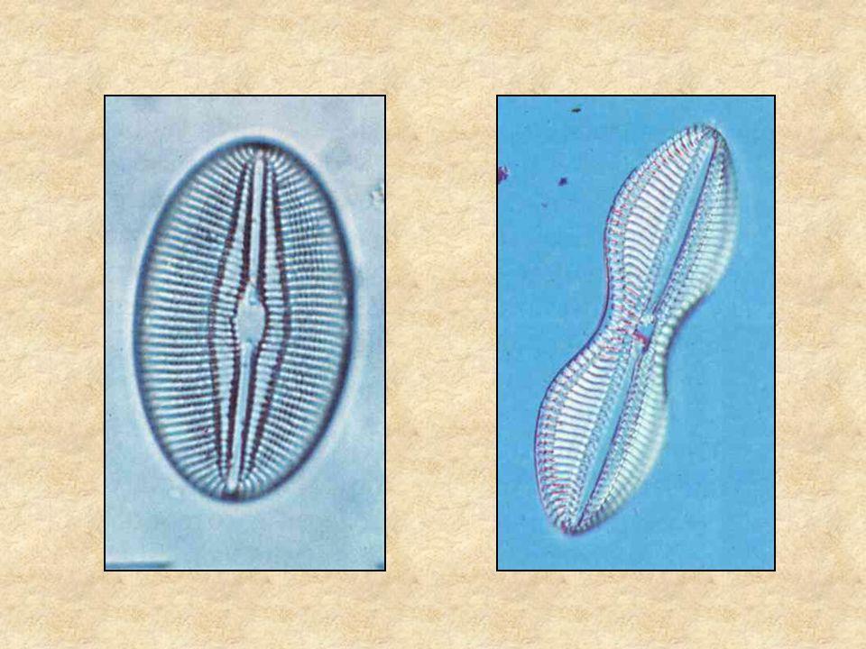 kovamoszatok Lovas: Édesvízi parányok 1. (növények) Búvár zsebkönyvek, Móra Kiadó