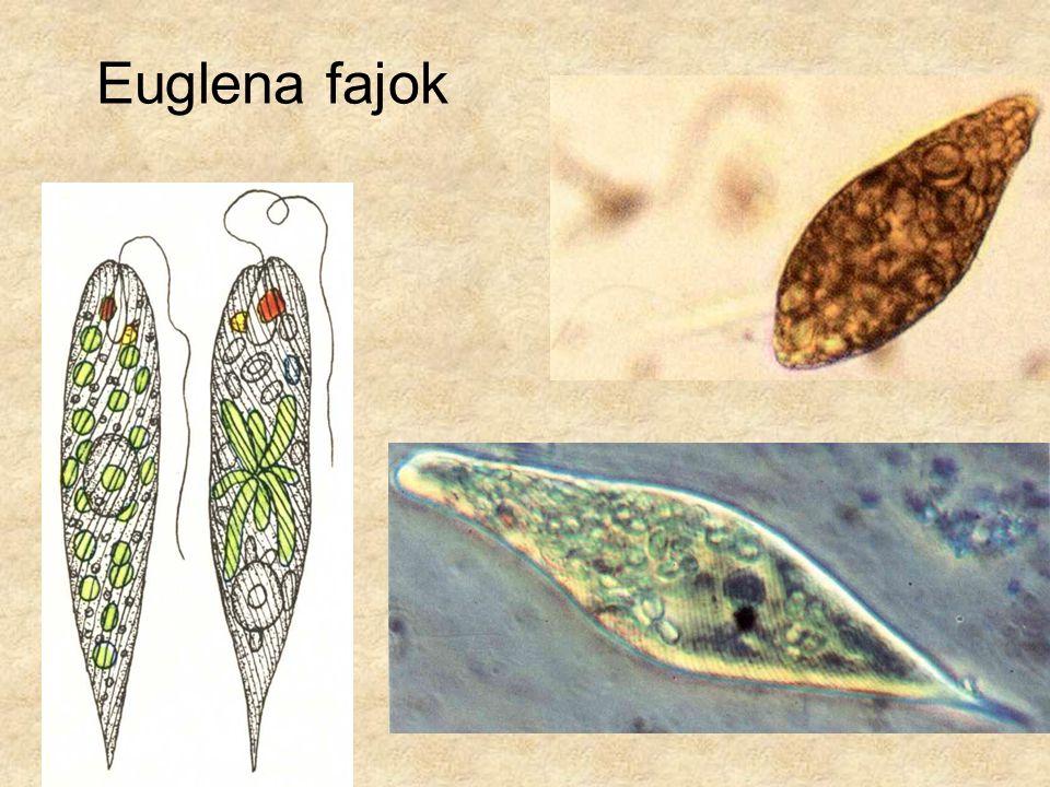 Euglena fajok Baloldali kép: Simon-Csapodi: Kis növényhatározó, Tankönyvkiadó.