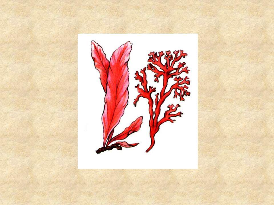 Vörösmoszat Asztalosné - Franyó: Távoli tájak élővilága az élőlények rendszere, Nemzeti Tankönyvkiadó, 1999.