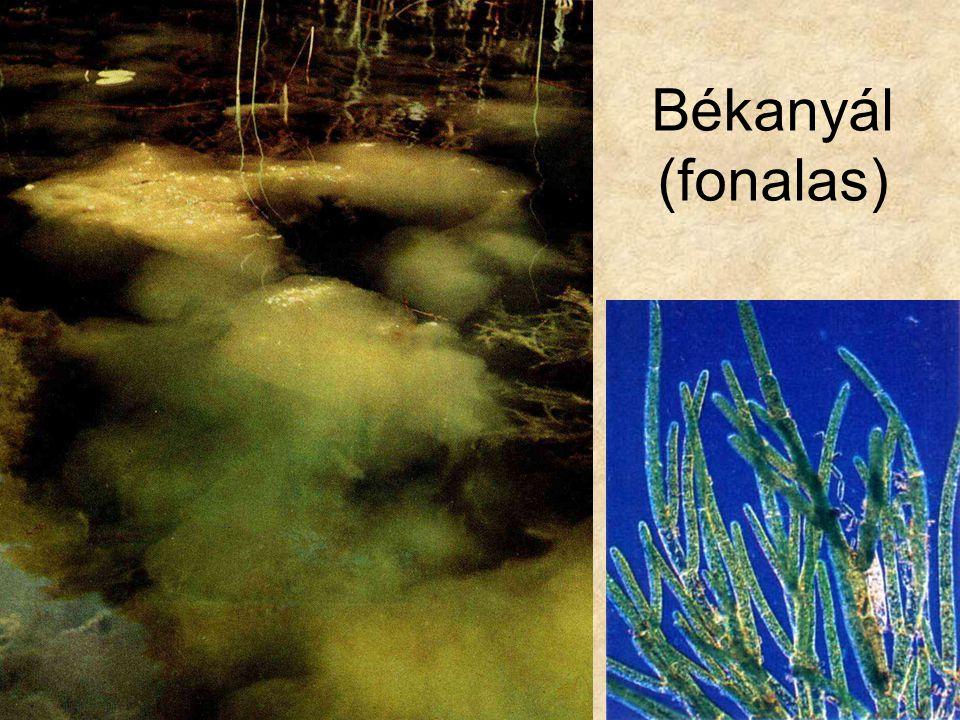 Békanyál (fonalas) Bal oldali kép: Uránia növényvilág - Alacsonyabbrendű növények, Gondolat kiadó.