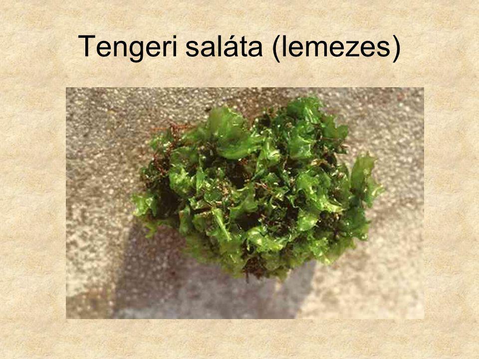 Tengeri saláta (lemezes)