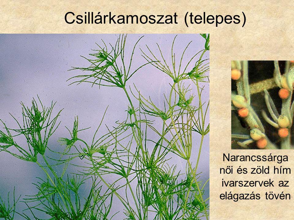 Csillárkamoszat (telepes)