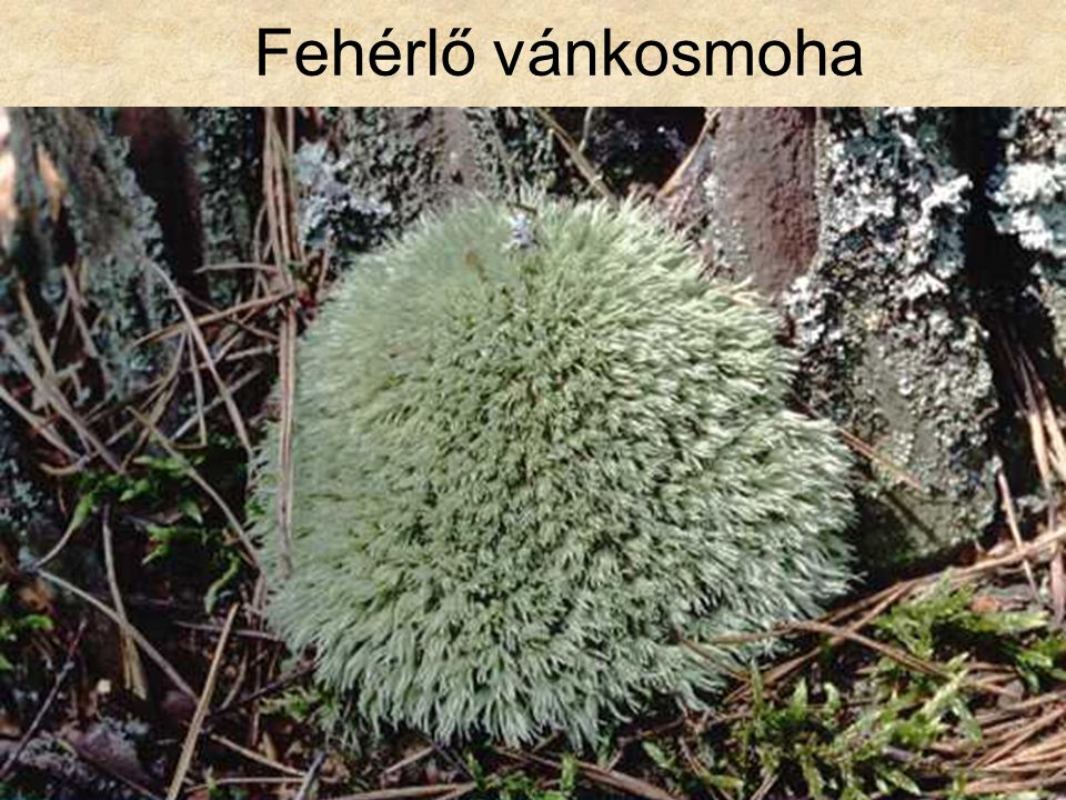 Fehérlő vánkosmoha Növénytan CD, Kossuth Kiadó
