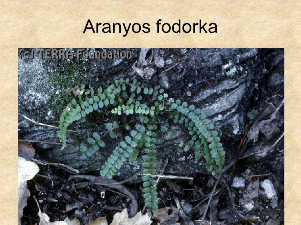 Aranyos fodorka Hazánk növényvilága CD, Terra alapítvány