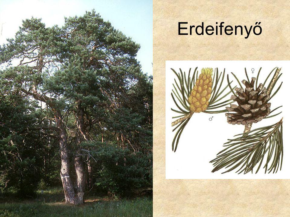Erdeifenyő Bal oldali kép: Fák és cserjék CD, Kossuth Kiadó