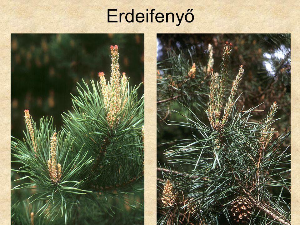 Erdeifenyő Fák és cserjék CD, Kossuth Kiadó