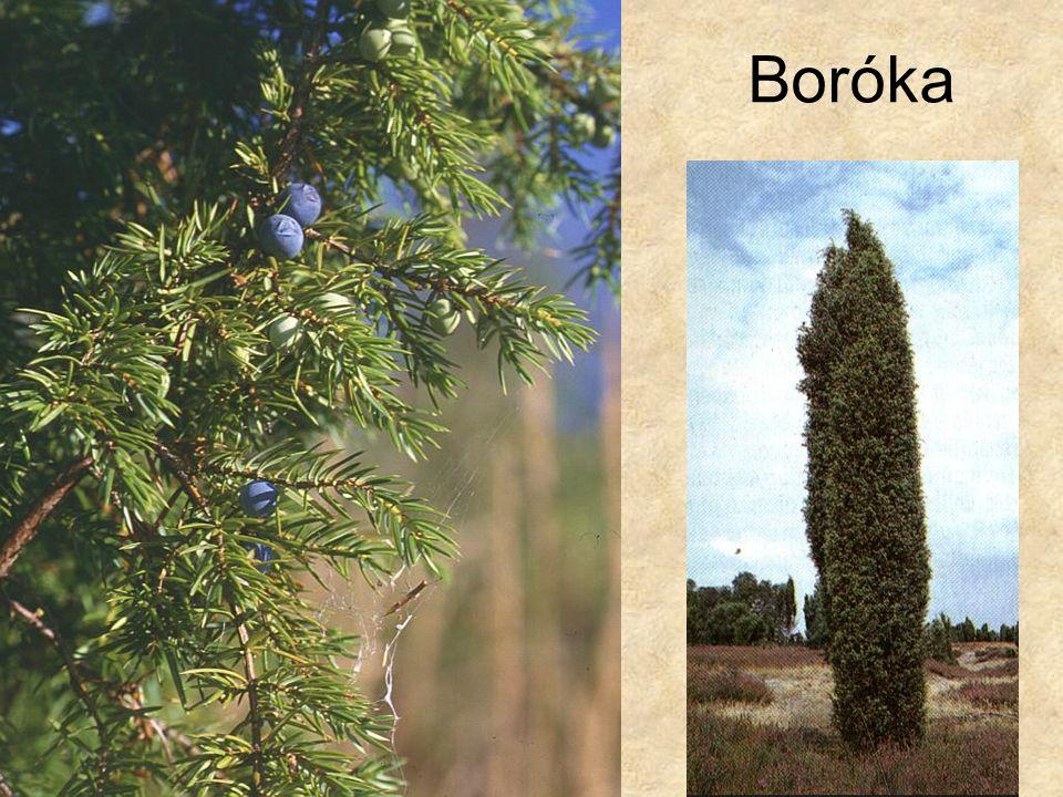 Boróka Bal oldali kép: Internet