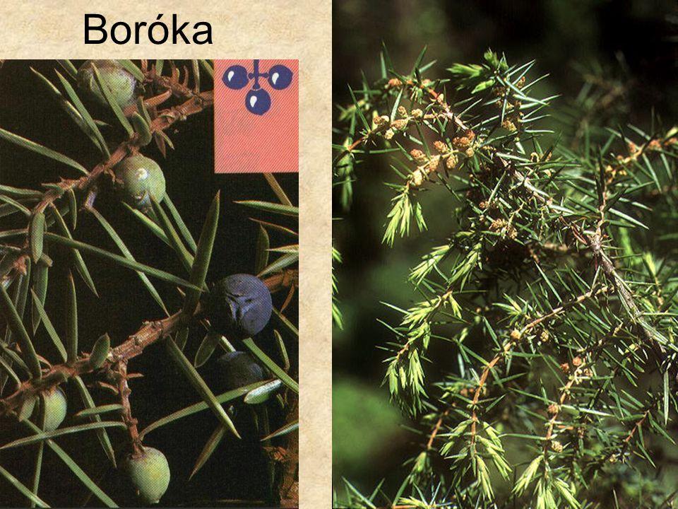Boróka Bal oldali kép: Bogyósok, Magyar Könyvklub