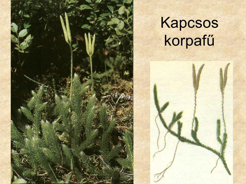 Kapcsos korpafű Bal oldali kép: Kremer-Muhle: Zuzmók, mohák és harasztok, Magyar könyvklub Természetkalauz sorozat.