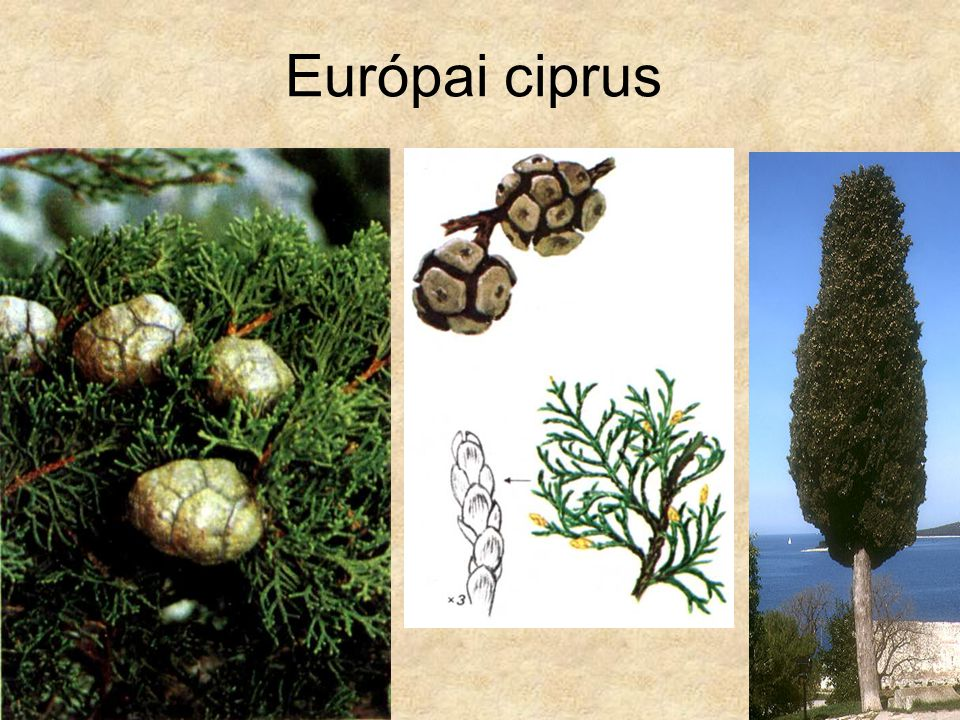Európai ciprus Bal oldali és középső kép: Oleg Polunin: Európa fái és bokrai, Gondolat Kiadó 1981.