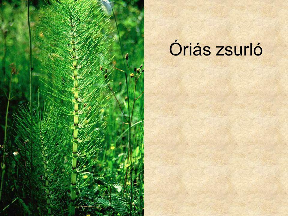 Óriás zsurló Vadvirágok CD, Kossuth Kiadó